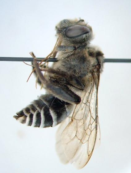 Bee - Melitoma taurea