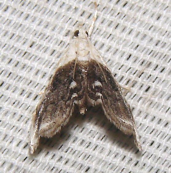 unidentified moth - Lipocosmodes fuliginosalis