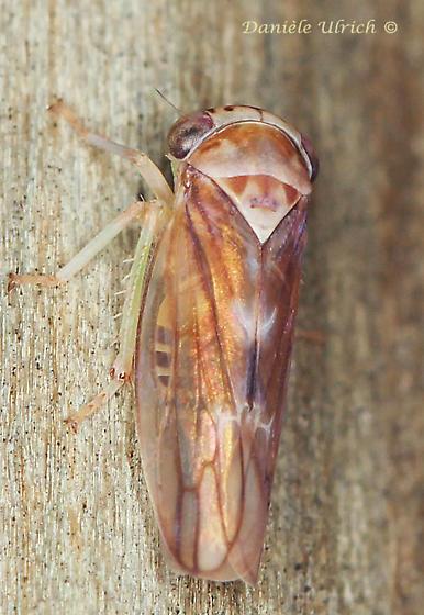 Cicadellidae ? - Idiocerus
