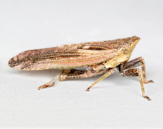 BG1507 D1123 - Cyrpoptus belfragei