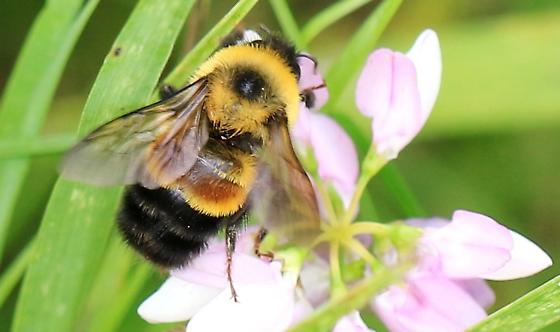 rusty-patched bumble bee? - Bombus affinis