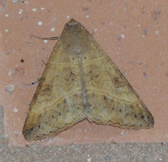 TX moth - Mocis disseverans