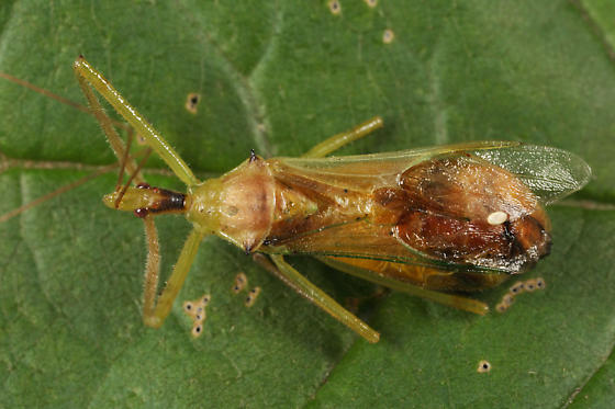 parasitized assassin bug - Zelus luridus