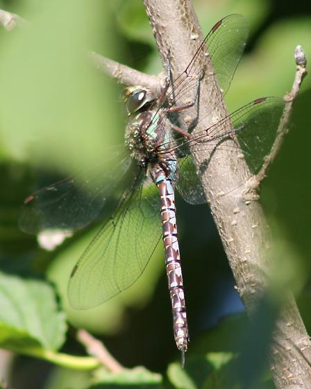 Green-striped Darner? - Aeshna verticalis - female