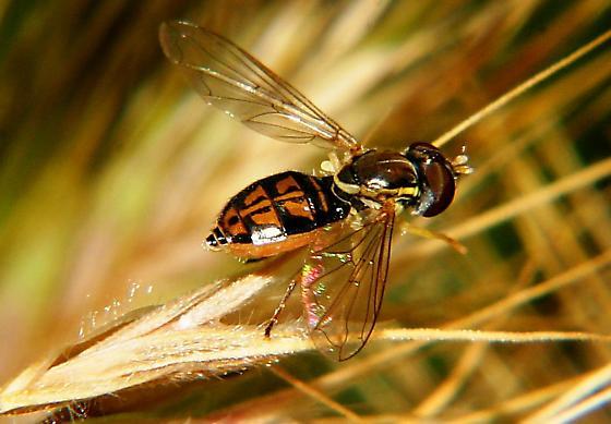 Black-orange fly - Toxomerus marginatus - female