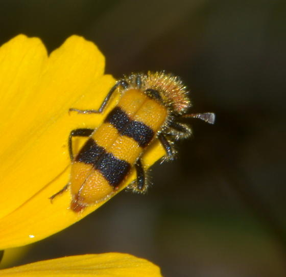 Please help us to identify this furry guy. - Trichodes bibalteatus