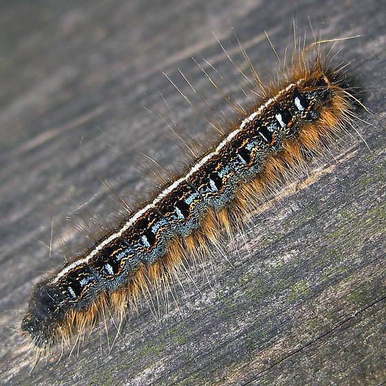 Eastern Tent Caterpillar Moth - Hodges#7701 - Malacosoma americana