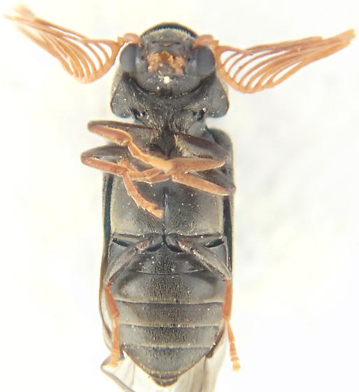 Beetle - Ptilinus ruficornis - male