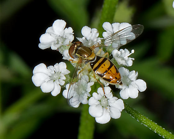 Unknown hoverfly (Syrphidae) - Toxomerus marginatus