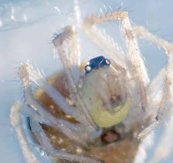 Unknown Spider - Theridula gonygaster
