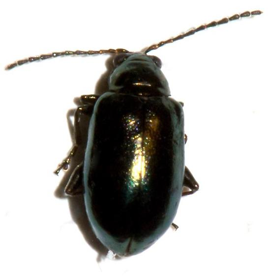 Typophorus nigritus? - Altica chalybea