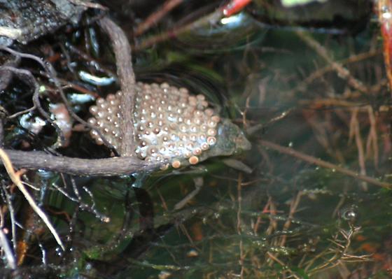 Looking elegant in pearls - toe biter - Abedus indentatus - male