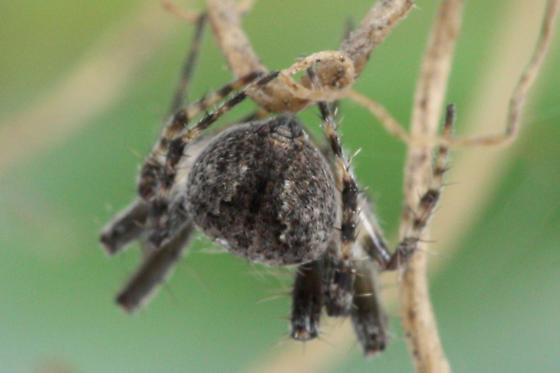 Unknown Tennessee Spider - Eustala
