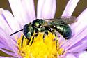 Small Carpenter Bee - Ceratina - male