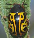 Calligrapha serpentina