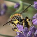 Bee - Anthidium manicatum