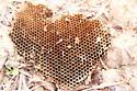 Honeycomb/Hive identification? - Vespula