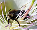 Probably Not a Valley Carpenter Bee Female - Xylocopa tabaniformis - male
