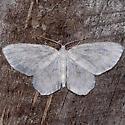 Fragile White Carpet Moth - Hydrelia albifera