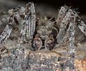 Unknown Spider - Araneus - male