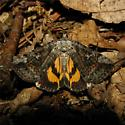Catocala similis - #8873 - Catocala similis