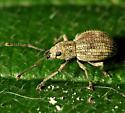 Cute Little Round Weevil - Calomycterus setarius