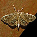 Hodges #4953 - Crowned Phlyctaenia - Anania plectilis
