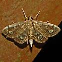 Hodges #4953 - Crowned Phlyctaenia - Anania coronata