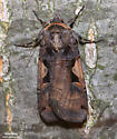 Greater Black-letter Dart  - Hodges#10942.1  (Xestia dolosa) - Xestia dolosa