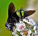 Tachinid Fly - Belvosia borealis