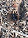 Blue head, black spider - Sphodros niger