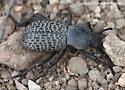 Beetle - Cryptoglossa variolosa
