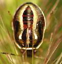 Unknown bug nymph - Mormidea lugens