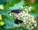 Moth - Ctenucha rubroscapus