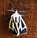 Banded Tiger Moth  - Apantesis vittata
