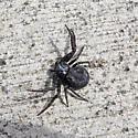 black crab spider - Bassaniana, perhaps Utahensis? - Coriarachne brunneipes