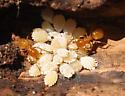 Golden Ant Shepherds - female