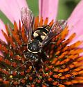 a mid season cuckoo? - Triepeolus lunatus