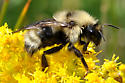 Bombus queen on Goldenrod - Bombus fernaldae - female