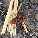 Brown bug - Leptoglossus occidentalis