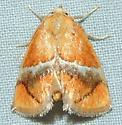 Yellow-shouldered Slug Moth - Lithacodes fasciola