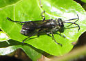 DC Wasp for ID - Isodontia