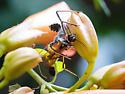 Assasin bug - Arilus cristatus