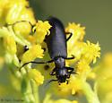 blister beetle on goldenrod - Epicauta