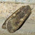 Moth near Ocean,  Armyworm Moth? - Peridroma saucia