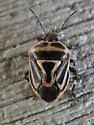 True Bug - Perillus bioculatus