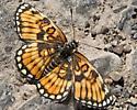 Unknown Butterfly 8164 - Chlosyne definita
