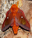 Southern Pink-striped Oakworm Moth  - Anisota virginiensis - male