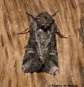 Moth - Lacinipolia rodora