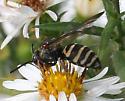 Bee ID Request - Epeolus - female